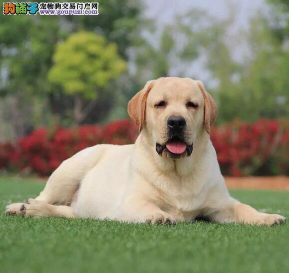 拉布拉多 犬舍直销精品拉布拉多幼犬