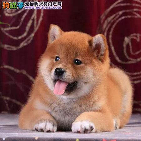聪明柴犬,日系血统,好驯服,带证书签协议