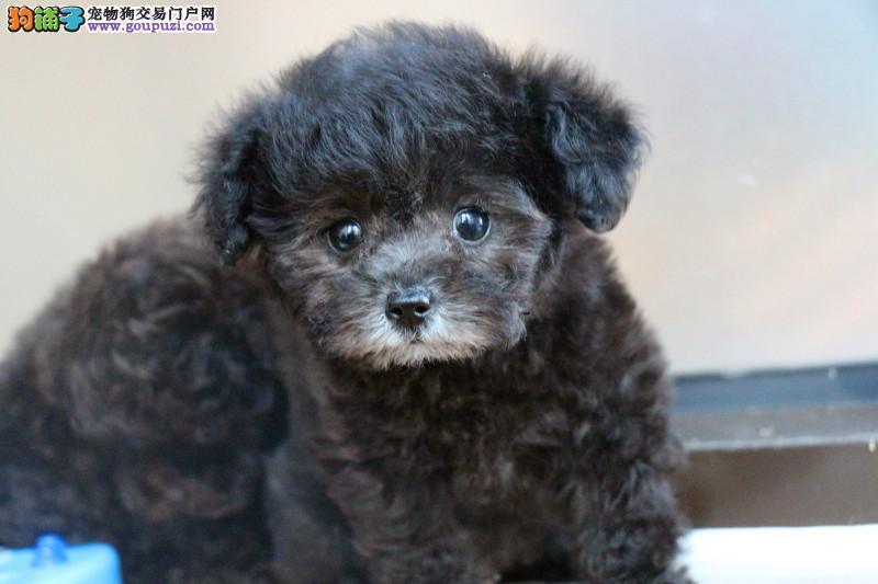 娃娃脸茶杯犬泰迪熊,成年不超过2斤