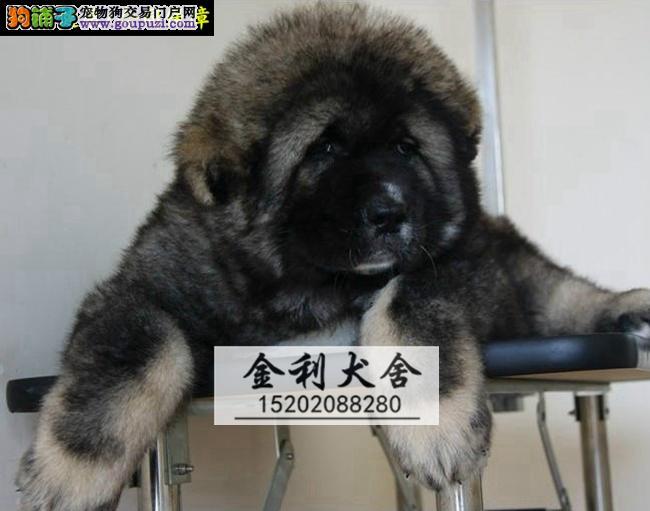 猛犬高加索繁殖基地长期繁殖优质纯种大骨架熊版高品质