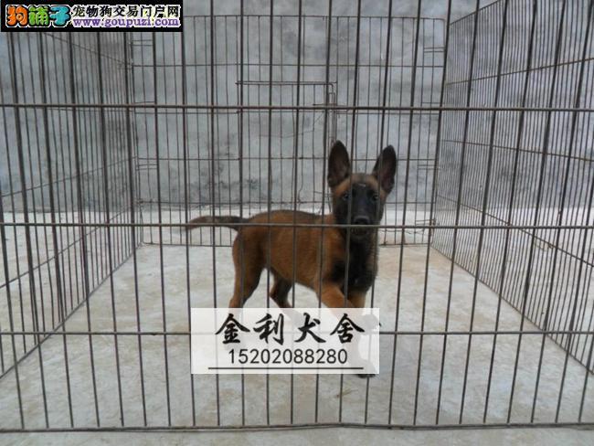 高品质纯种比利时马犬易训练 最时尚的警犬军犬