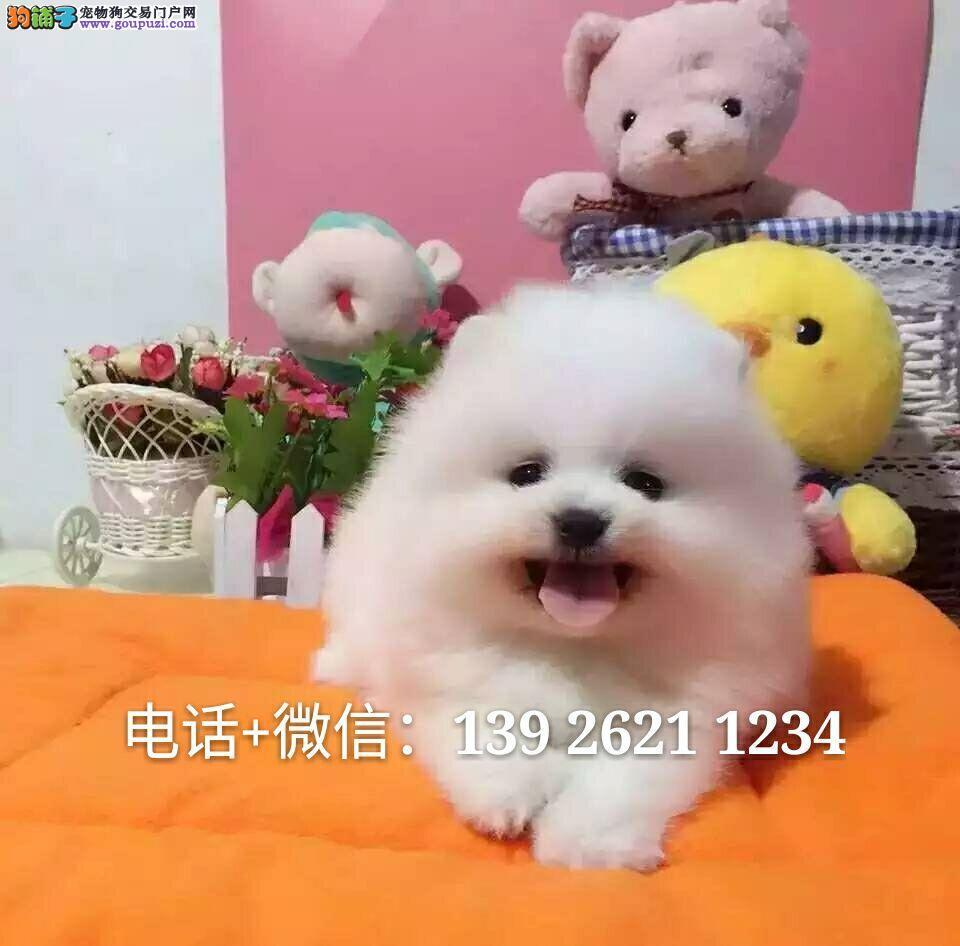 广州买博美狗,白色博美狗什么地方有卖
