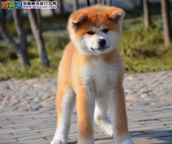 大气又高大上、日系纯种秋田犬