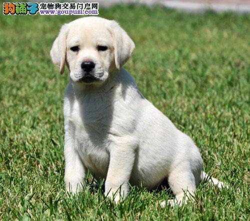 电视同款    神犬小七   纯种拉布拉多犬