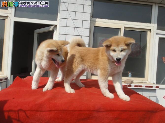 日系纯种秋田犬,犬舍常年繁育,质保健康