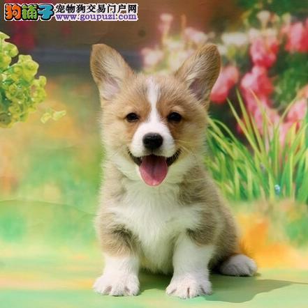 柯基犬,专业繁育养殖,短腿柯基犬威尔士柯基