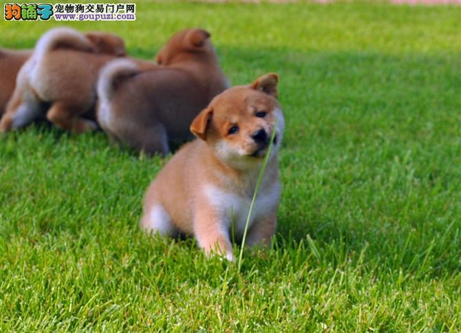 出售日系柴犬,繁育纯种幼犬,三针做齐