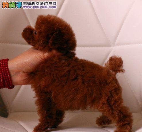 贵宾泰迪犬茶杯泰迪犬,犬舍直销,疫苗做齐