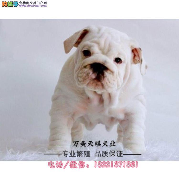 银狐幼犬、日本尖嘴银狐犬、狐狸犬、白、虎、花瓣色