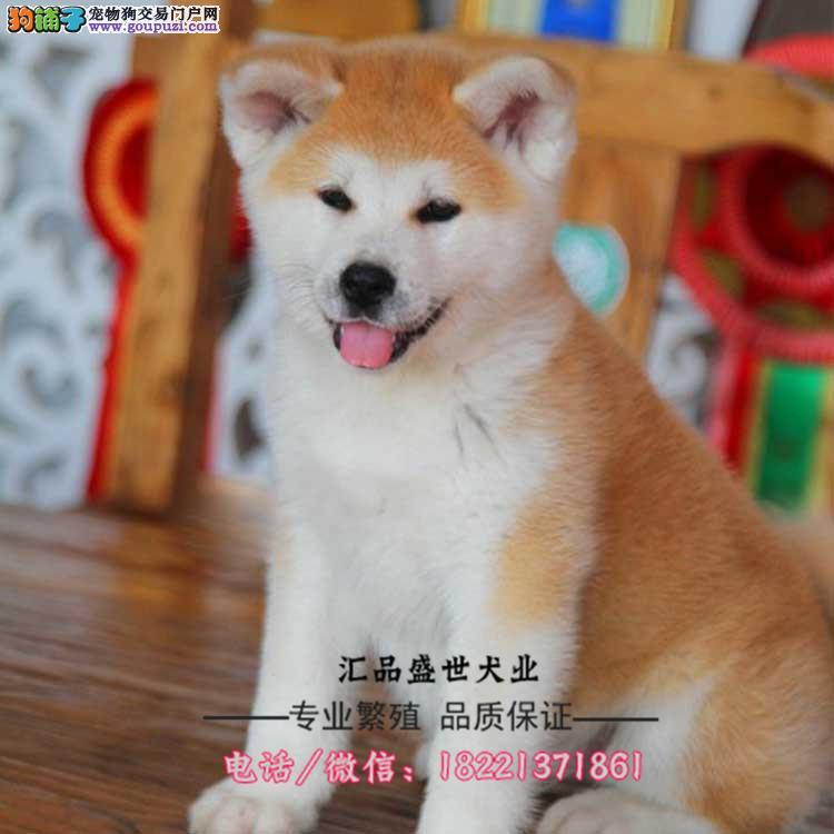 今天付款包邮犬舍出售赛级秋田有血统纯种健康完善售后