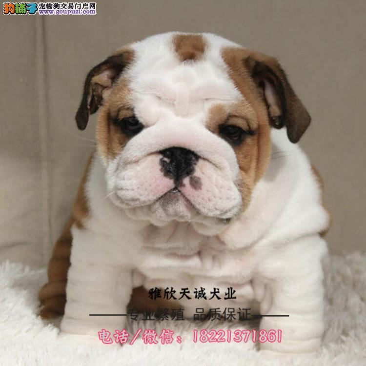 英斗幼犬、纯白英斗、虎皮英斗、海盗眼英斗幼犬出售
