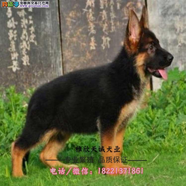 德国牧羊犬、锤系、东德、西德血统幼犬包健康包纯种