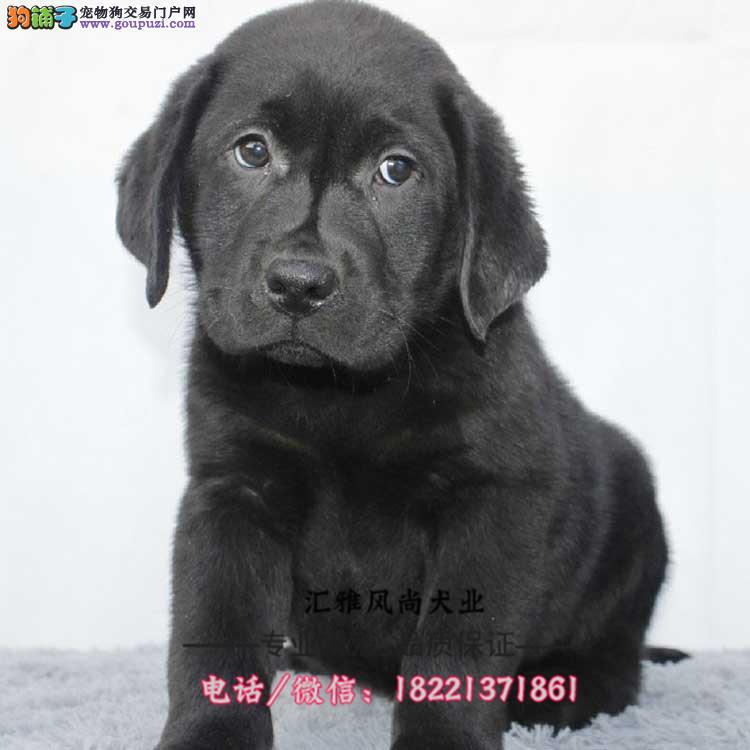 拉布拉多幼犬、全国包邮、导盲犬家庭伴侣犬陪伴小孩