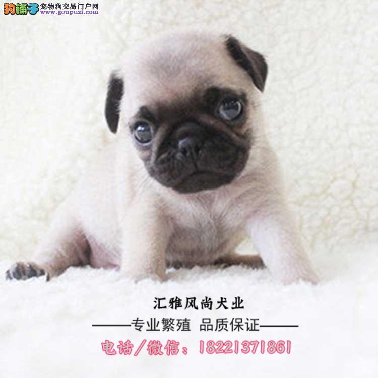 西施犬幼犬、超小体西施犬幼犬大眼睛多少钱哪里买卖