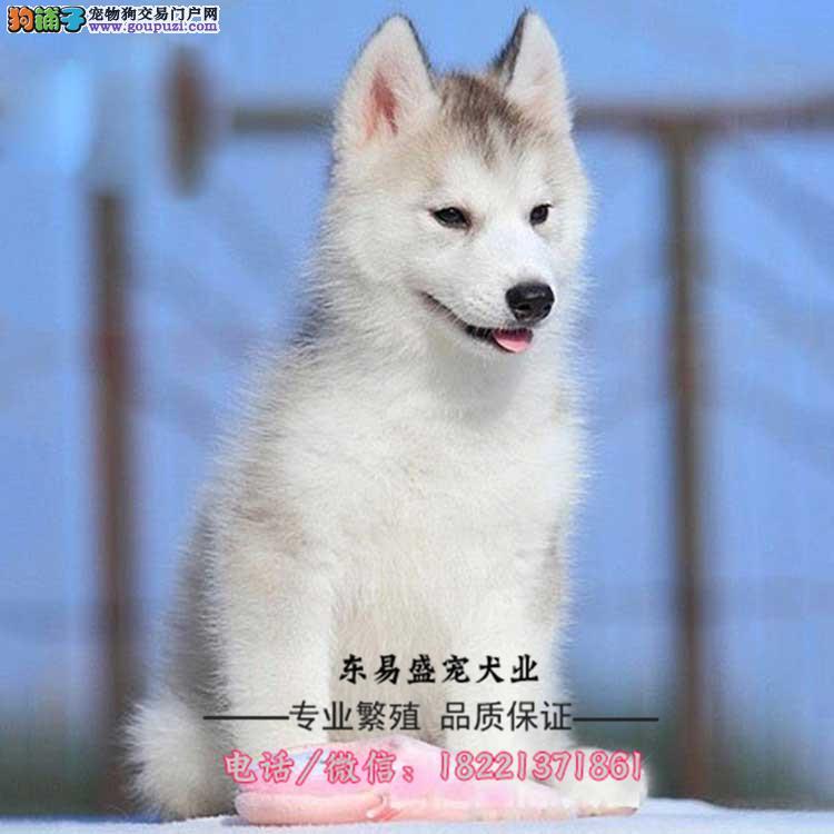 三把火、蓝眼睛哈士奇、二哈幼犬纯白灰色骨骼大包纯