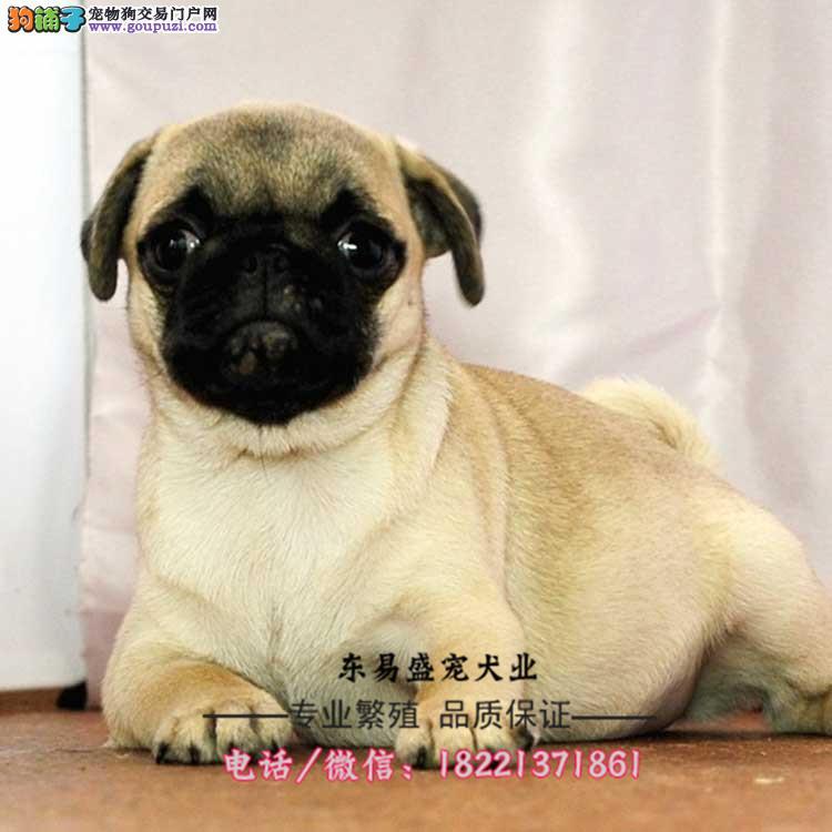 巴哥犬幼犬、袖珍体、大眼睛螺丝尾、鹰版巴哥犬买卖