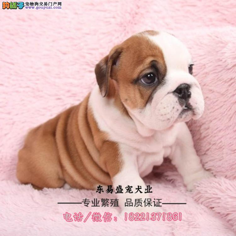 杜宾犬幼犬、德系、美系笃宾犬、工作犬猎犬裁耳断尾