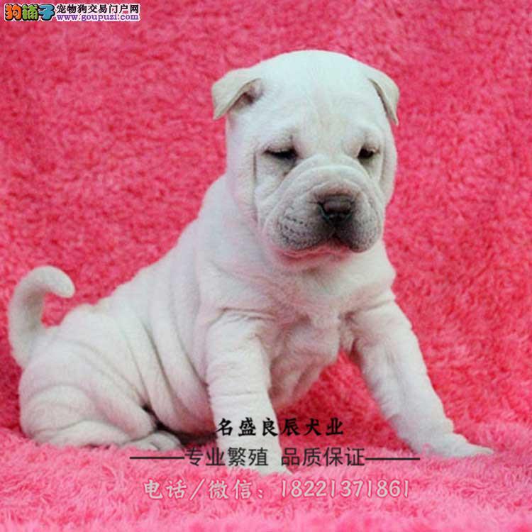 今天付款包邮、可爱的沙皮幼犬 皱脸沙皮 适应能力强