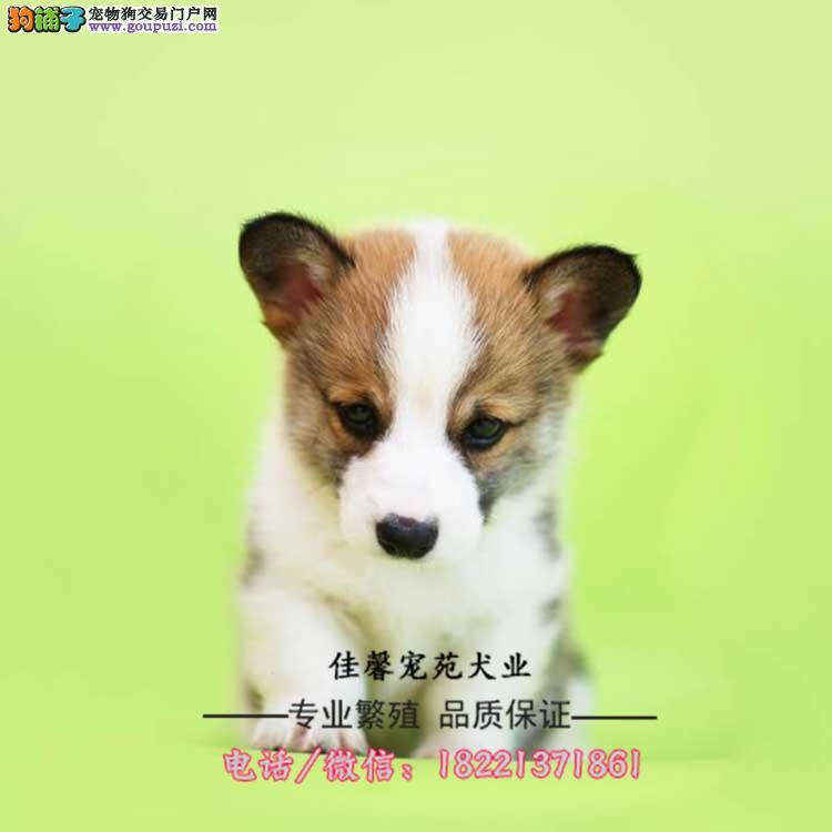 柯基幼犬、毛色对称、白通脖小短腿性格温顺适合小孩