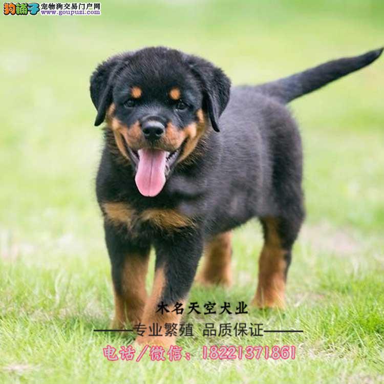 罗威纳幼犬、防暴犬罗威纳、德系、美系罗威纳赛级犬