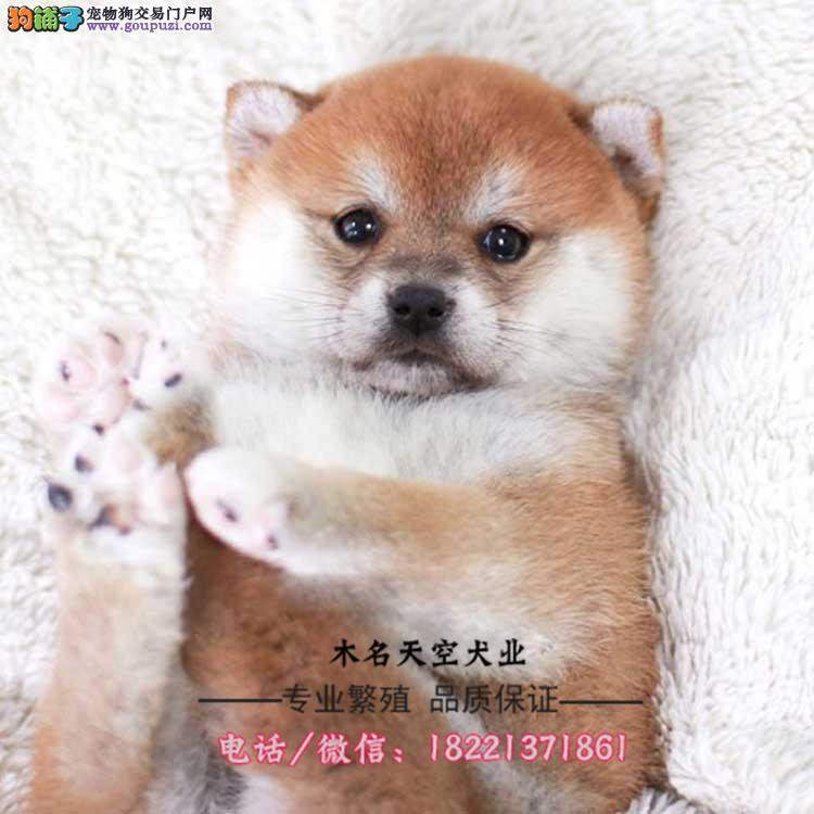 秋田幼犬、日系秋田犬、忠犬八公、赤色白色虎斑色等