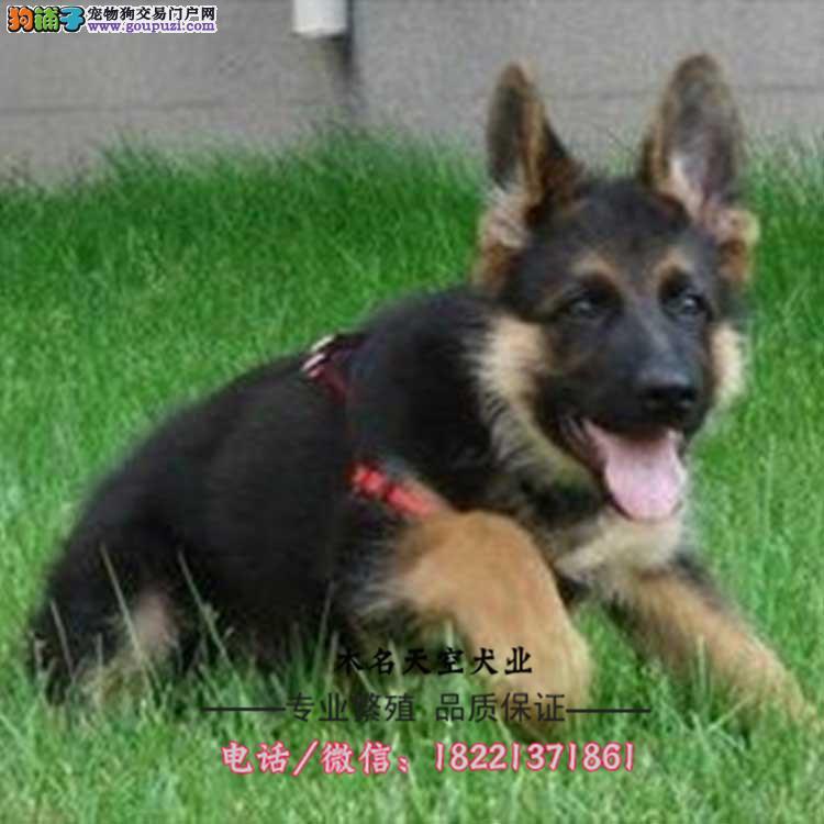 藏獒幼犬、铁包金黄黑草白色、大骨骼、毛量足、凶猛