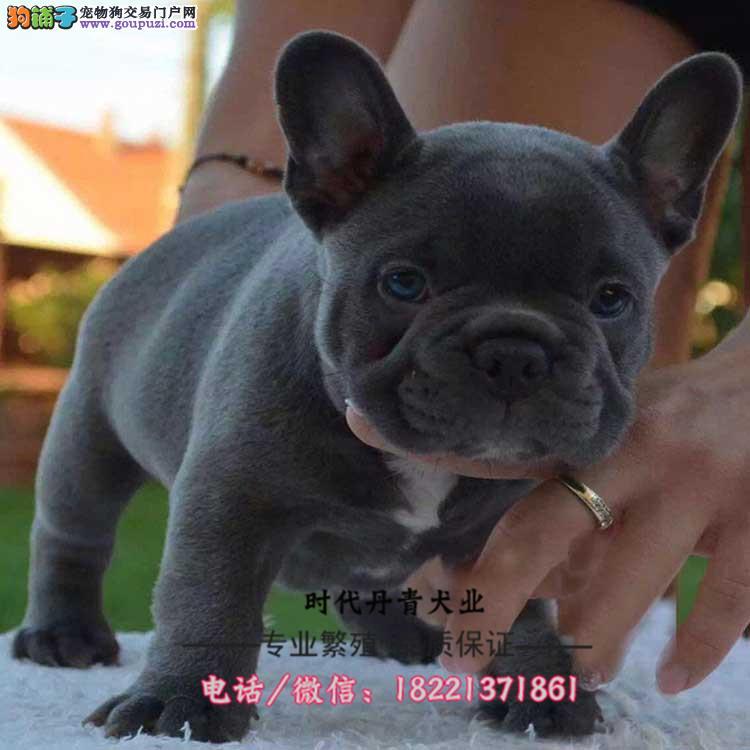 法斗幼犬、纯白奶油色、驼色、海盗眼、黑白法斗幼犬