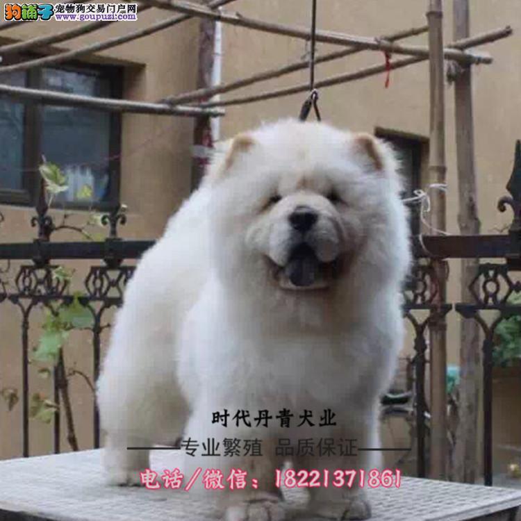 西高地幼犬、纯白西高地、袖珍体哪里买卖多少钱纯种