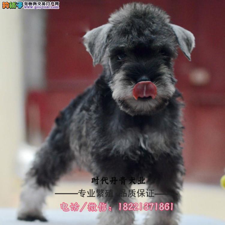 雪纳瑞幼犬、袖珍体、椒盐色小老头、雪纳瑞幼犬买卖