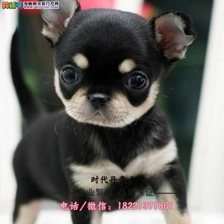 北京犬幼犬、京巴犬、长毛小型犬、翘嘴巴、国产品种