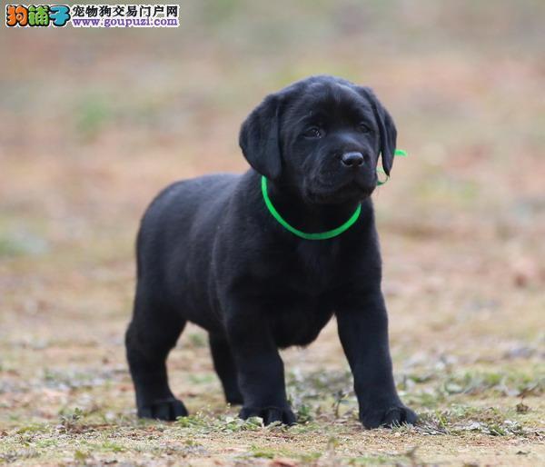 出售拉布拉多 导盲犬拉布拉多