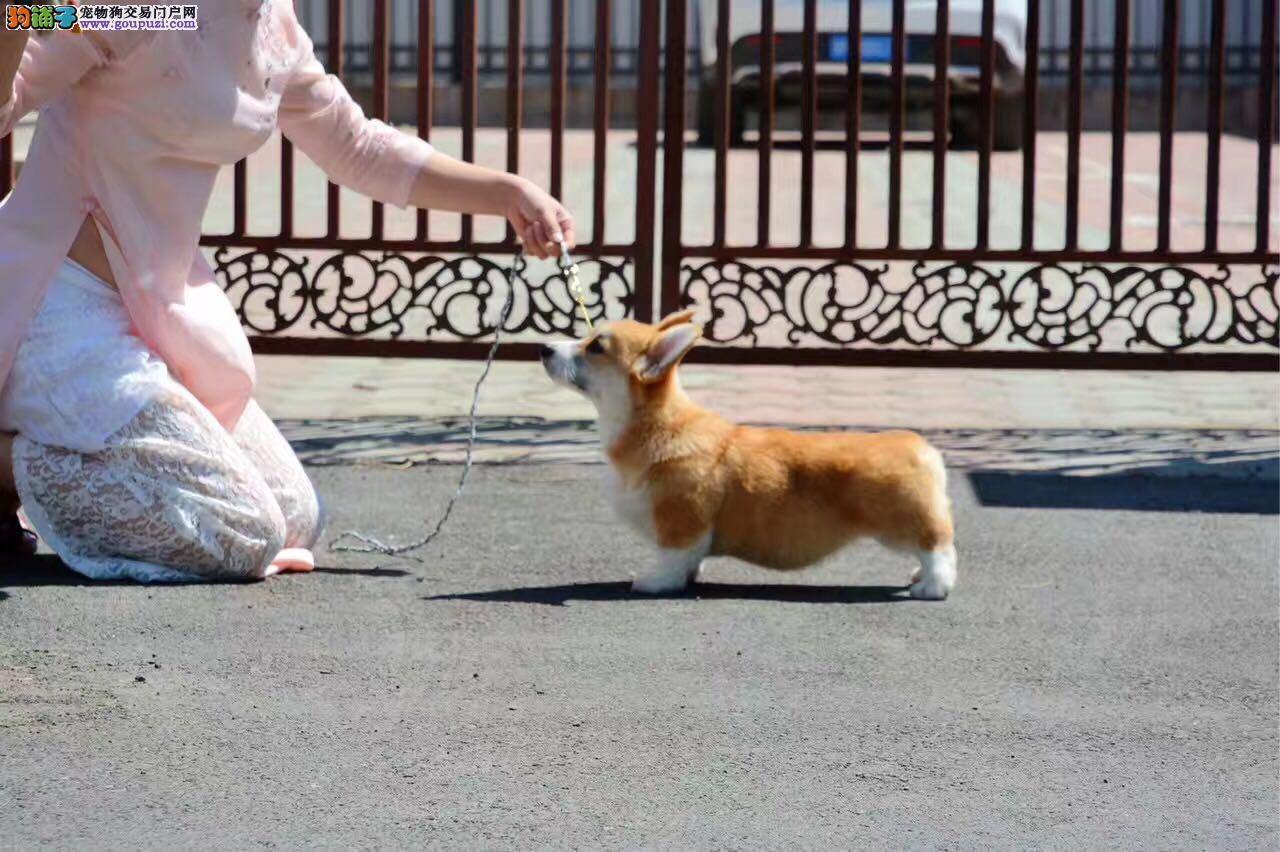 纯种柯基犬繁殖基地出售两色三色