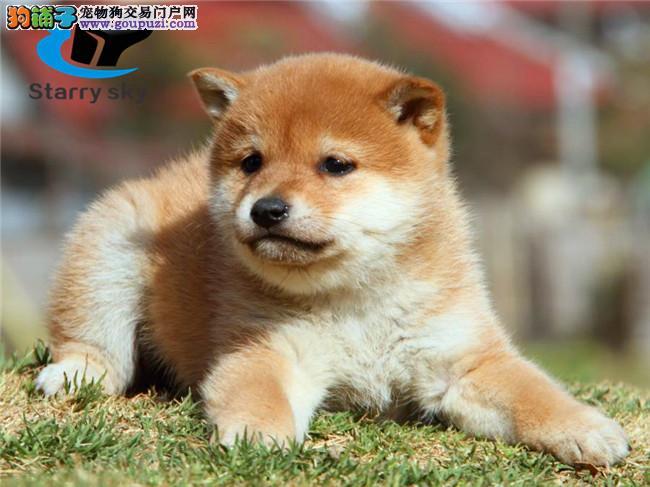柴犬 中型犬 棕红色 赤色柴犬
