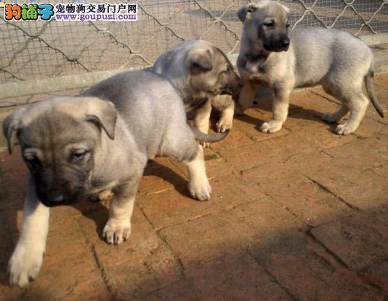 狼青犬幼犬出售价格便宜品相好