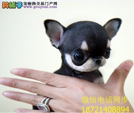基地直销 纯种吉娃娃等品种幼犬 保健康 送用品3