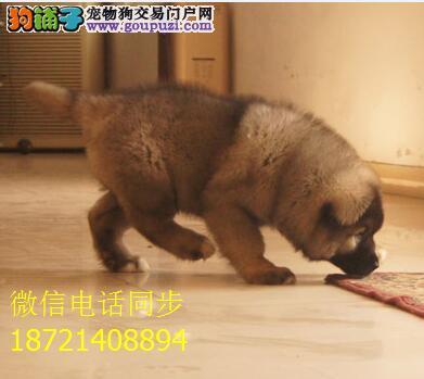 出售纯种熊版大头版大骨架好毛量高加索幼犬多只选择
