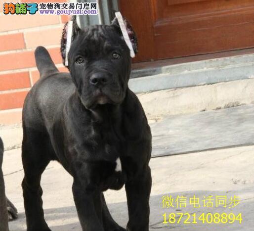 纯种意大利纯血统重头版的卡斯罗护卫犬卡斯罗犬幼犬