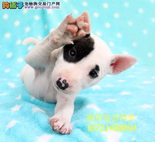 超强血统牛头梗 实物图片 纯国外血系贵族名犬繁育