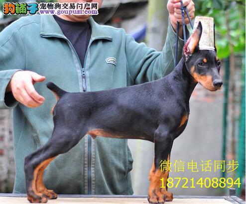 高品质德系杜宾幼犬出售 、头版正、 骨量大 色素