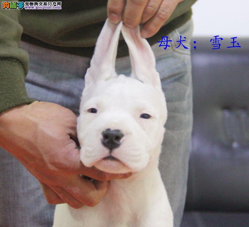 哈尔滨现有杜高幼犬出售