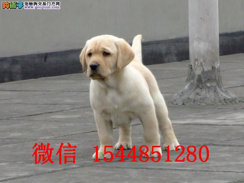 郑州哪里有卖拉布拉多 黑色拉布拉多 奶油色拉拉多少钱