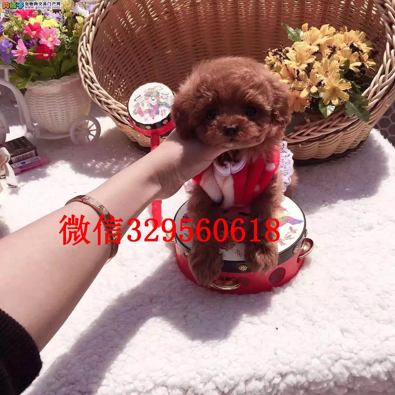 天津有卖泰迪犬的吗 纯种泰迪犬多少钱一只 红色泰迪犬