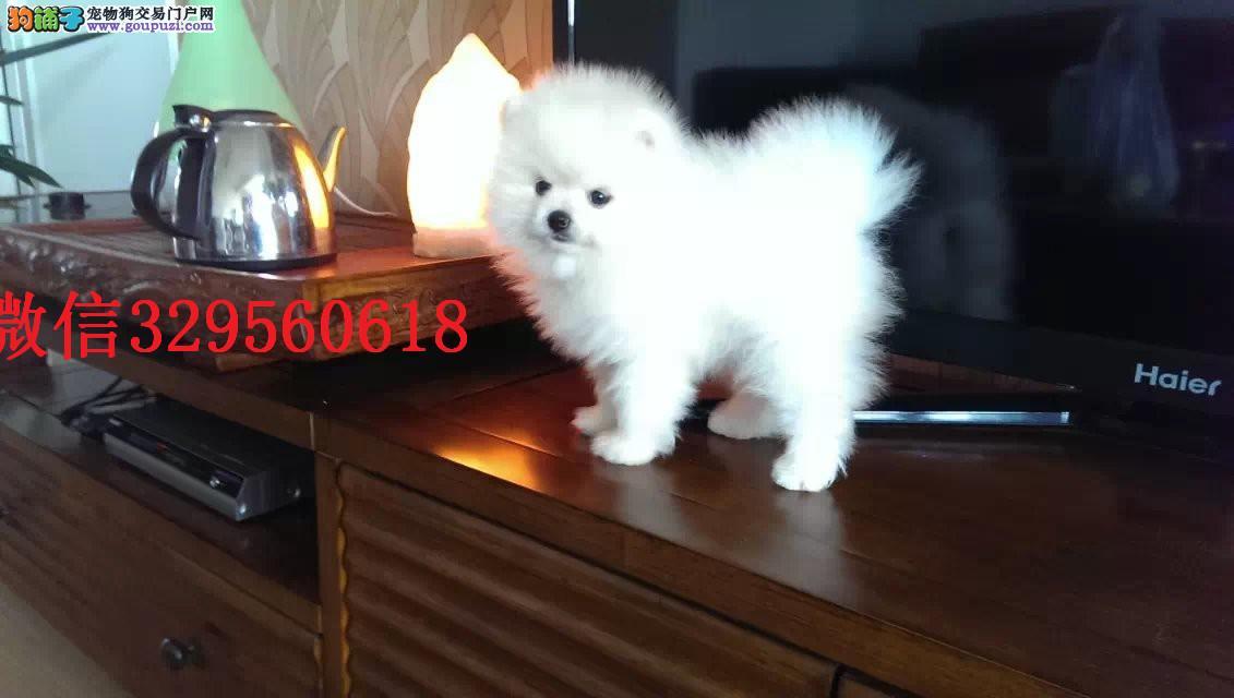 天津哪里可以买到纯种健康的博美犬 哈多利球体博美