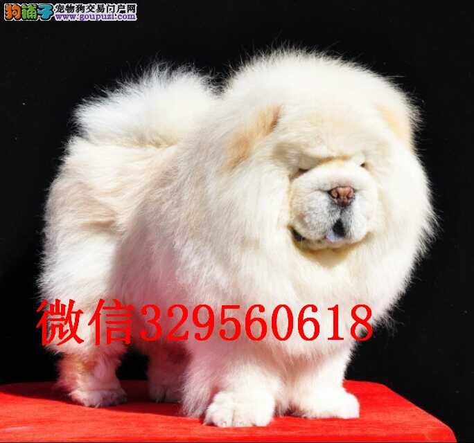天津纯种松狮多少钱 天津哪里有卖松狮犬价格