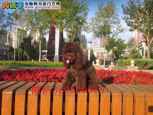 天津哪里可以买到纯种健康的贵宾犬红色贵宾犬幼犬出售