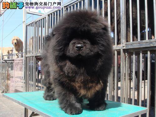 金山区松狮犬哪里买多少钱价格