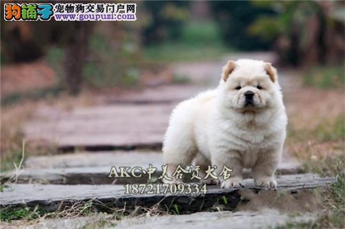 上海出售松狮顶级肉嘴保健康全国发货