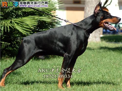 上海杜宾骨量足灵性犬驱虫已做全国发货