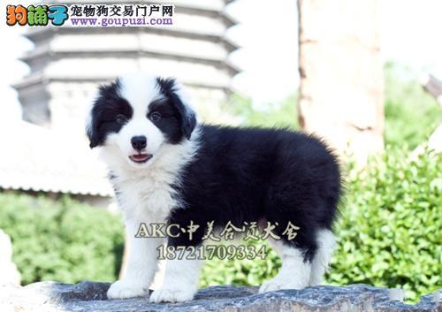 上海家养新生健康小边牧高智商公母均有