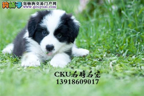 广西边牧好养小狗狗保健康全国发货
